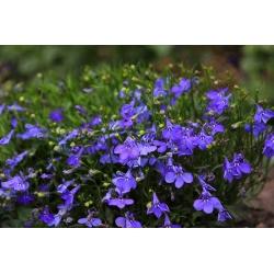 Lobelia przylądkowa niebieska - Stroiczka - 6400 nasion