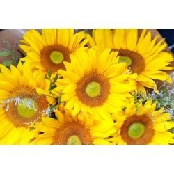 Słonecznik ozdobny średnio-wysoki Amor