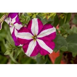 Petunia dwubarwna STARLET 2 - 80 nasion