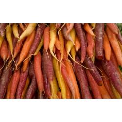 Marchew - mieszanka kolorowych odmian - NA TAŚMIE