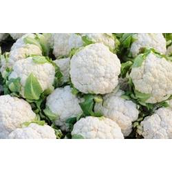 Kalafior Igloo – nasiona otoczkowane - 50 nasion