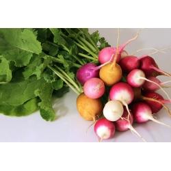 Rzodkiewka – mieszanka odmian kulistych- nasiona otoczkowane - 300 nasion
