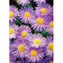 Erigeron - lilaróżowy, oryginalny kwiat