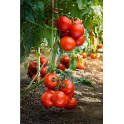 Pomidor Dafne F1 - szklarniowy, tunelowy