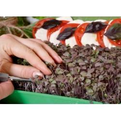 Microgreens - Bazylia właściwa czerwona Dark Opal - młode listki o unikalnym smaku - 1950 nasion
