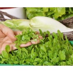 Microgreens - Cykoria liściowa - młode listki o unikalnym smaku - 2160 nasion