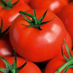 Pomidor Płomień - gruntowy, średnio wczesny o silnym wzroście