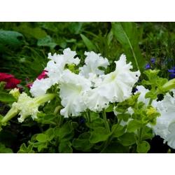 Petunia o kwiatach strzępiastych - mieszanka - 80 nasion