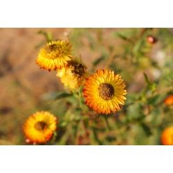 Kocanka ogrodowa, Nieśmiertelnik pomarańczowa - 1200 nasion