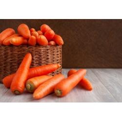Marchew Regulska - późna, szerokiego zastosowania - 4250 nasion