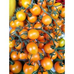 Pomidor Cytrynek Groniasty - drobny, żółty, nawet 75 pomidorków w jednym gronie!