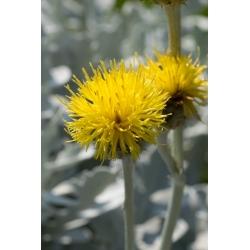 Chaber piżmowy - mieszanka - 220 nasion