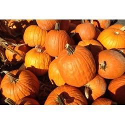 Dynia ozdobna Halloween - najlepsza do rzeźbienia - 15 nasion