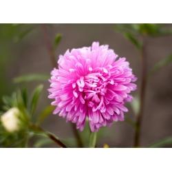 Aster chryzantemowy Beryl - różowy - 250 nasion