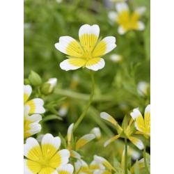 Limnantes żółto-biały