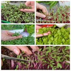 Microgreens - Decorazione - dekoracyjny dodatek do potraw - zestaw 5 szt. + pojemnik do uprawy