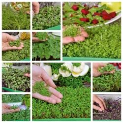 Microgreens - Diablo - Pikantna mieszanka nasion - zestaw 10 szt. + pojemnik do uprawy