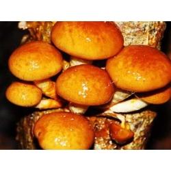 Zestaw grzybów azjatyckich - 5 gatunków - grzybnia na kołkach