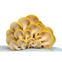 Boczniak cytrynowy - Duża paczka - 100 szt. - grzybnia na kołkach