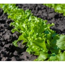 Sałata liściowa Salad Bowl zielona, dębolistna