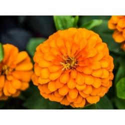 Cynia wytworna daliowa Orys - pomarańczowa