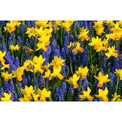 Zestaw niebiesko-żółty - szafirek + żonkil - 60 szt.