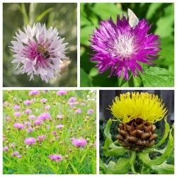 Chabry - zestaw 4 odmian nasion kwiatów
