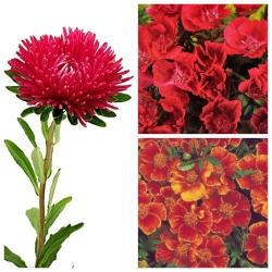 Karmazynowy Poemat - zestaw 3 odmian nasion kwiatów