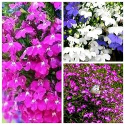 Lobelia - zestaw 3 odmian nasion kwiatów