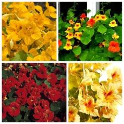 Nasturcja - zestaw 4 odmian nasion kwiatów