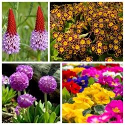 Pierwiosnek - zestaw 4 odmian nasion kwiatów
