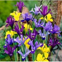 Irys botaniczny - mieszanka kolorów - duża paczka! - 100 szt.