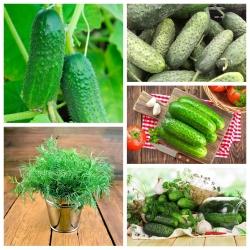 Ogórki małosolne - odmiany idealne do kwaszenia + koper ogrodowy