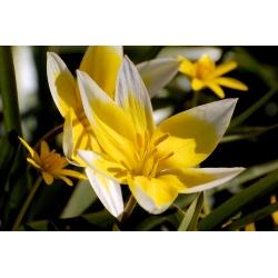 Tulipan Tarda - 5 cebulek