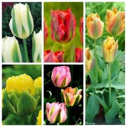 Tulipan zielonokwiatowy - zestaw nietuzinkowych odmian - 50 szt.