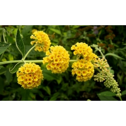 Budleja Dawida żółta - Sungold - Krzew motyli - sadzonka