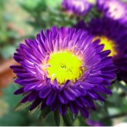 Aster półpełny Iskra - fioletowy