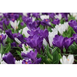 Krokus fioletowy i biały - zestaw 60 szt.
