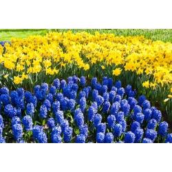 Zestaw - hiacynt niebieski z żonkilem - 40 szt.