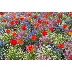Tulipan pomarańczowy, niezapominajka alpejska niebieska, różowa i biała - zestaw cebulek i nasion