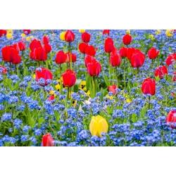 Tulipan czerwony i niezapominajka alpejska niebieska - zestaw cebulek i nasion