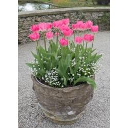Tulipan różowy i niezapominajka alpejska biała - zestaw cebulek i nasion