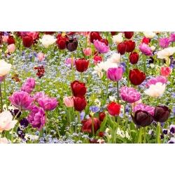 Tulipan - mieszanka gatunków i niezapominajka alpejska niebieska - zestaw cebulek i nasion