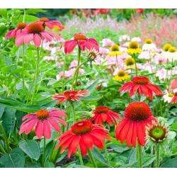 Jeżówka - zestaw nasion kwiatów w różnych kolorach