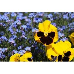 Bratek wielkokwiatowy + niezapominajka niebieska - zestaw 2 gatunków nasion kwiatów