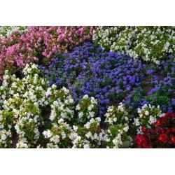 Żeniszek meksykański + begonia stale kwitnąca biała, różowa i czerwona - zestaw 4 odmian nasion kwiatów