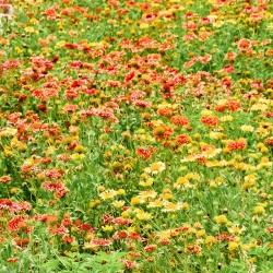 Gailardia nadobna - 250 nasion