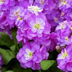 Lewkonia Varsovia Hala- purpurowofioletowa