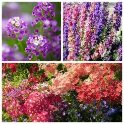 Mieszanka kwiatów - Jive - NA TAŚMIE