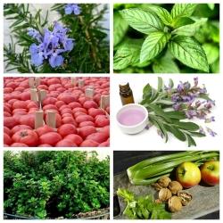 Zestaw roślin odstraszających szkodniki - piętnówka kapustnica - 6 gatunków nasion